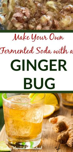 A ginger bug is a naturally fermented traditional base you can make at home with a bit of real ginger and some sugar. It will form the base for many delicious drinks, including ginger soda! Find out how to make your own ginger bug at home, as well as find Ginger Soda, Ginger Bug, Real Food Recipes, Cooking Recipes, Healthy Recipes, Alcohol Recipes, Drink Recipes, Yummy Drinks, Healthy Drinks