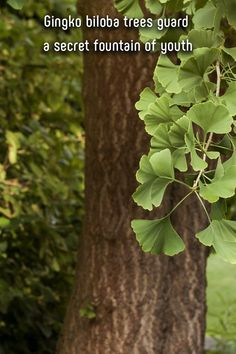 As humans age, our bodies start to slow down and get creaky. But the same doesn't happen with the ginkgo biloba tree. Tree Tree, Tree Forest, Trees, Fountain Of Youth, Backyard Landscaping, The Great Outdoors, Bodies, Exploring, Age
