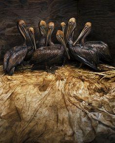 En la fotografía se puede ver un grupo de pelícanos, recogidos para limpiarlos y salvarles la vida, después de ser afectados por el derrame de petróleo de la plataforma Deep Water Horizon en el Golfo de Mexico.