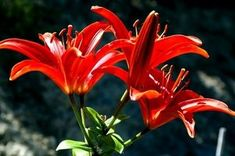 How to Care for Asiatic Lilies in the Fall thumbnail