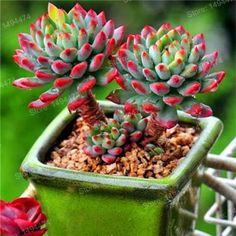 100pcs/bag mixed color rare succulent plant Succulent Cactus Lithops Pseudotruncatella seeds Colorful Succulents, Growing Succulents, Succulents In Containers, Cacti And Succulents, Planting Succulents, Planting Flowers, Cactus Seeds, Succulent Seeds, Succulent Gardening