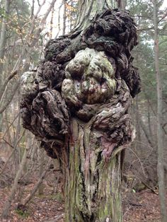Interesting tree burl found in Parvins State Park in NJ Tree Burl, Weird Trees, Tree Faces, Tree People, Unique Trees, Tree Carving, Old Trees, Tree Trunks, Nature Tree