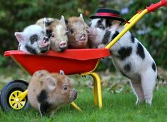 These adorable micro pigs are having better days than us (and they& possibly more talented, too! Animals And Pets, Baby Animals, Funny Animals, Cute Animals, Nature Animals, Pet Pigs, Baby Pigs, This Little Piggy, Little Pigs