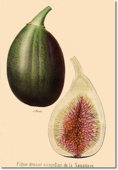 Revue Horticol - Botanical Prints - Illustrated Book Plate Illustration from Revue Horticole - Botanical Print - 21 - FIG FRUIT Painting Vintage Botanical Prints, Botanical Drawings, Antique Prints, Botanical Art, Vintage Prints, Fig Fruit, Flora, Fruit Illustration, Fruit Painting