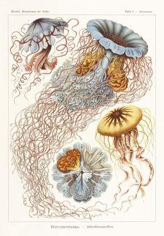 Ernst Haeckel, el naturalista y biólogo alemán que estudió los sifonóforos