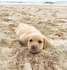 Happifying #labradorretriever