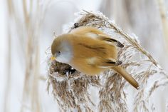 The Bearded Reedling (Panurus biarmicus) is a small, sexually dimorphic reed-bed passerine bird. It is frequently known as the Bearded Tit.This species is a wetland specialist, breeding colonially in large reed beds by lakes or swamps. It eats reed aphids in summer, and reed seeds in winter, its digestive system changing to cope with the very different seasonal diets.