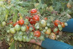 Red Centiflor Cherry - Cette variété produit des centaines de fleurs et donc des centaines de petits fruits en énormes grappes impressionnantes.