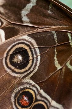butterfly wing - Blue Morpho by nervous system, via Flickr