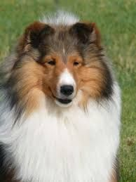 Image result for free sheltie coloring page