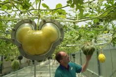 """During the hour-long """"Behind the Seeds"""" tour of the Disney greenhouses, guests are privy to experimental cultivation techniques and witness trees and vines growing Mickey-shaped lemons, watermelons, cucumbers, and pumpkins. Diners at the Garden Grill restaurant might later find such cucumbers on their salads."""