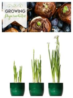 How to Grow Paperwhites | Forcing bulbs for indoor blooms is wonderful for winter days. This makes an easy and welcomed homemade gift idea for anyone.