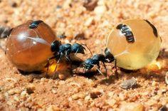 Hormigas melíferas, un abdomen tan grande como una uva Las hormigas melíferas son animales especializados dentro de la colonia y encargados de almacenar miel u otros líquidos en su abdomen, que se hincha de forma totalmente desproporcionada.