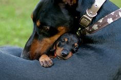 Loving Doberman with it's baby.> I saw a Doberman today. I was told it was not a Doberman, but a Rottweiler. It was a Doberman. Dachshund Funny, Dachshund Love, Daschund, Dachshund Puppies, Dapple Dachshund, Chihuahua Dogs, Funny Dogs, I Love Dogs, Puppy Love