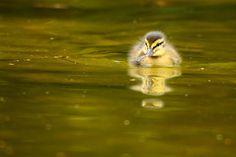 Golden #duck #cute #animal
