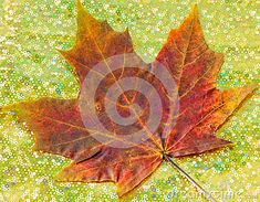 A close up of a red maple leaf on paper background.