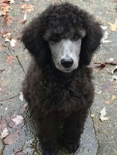 Silver Poodle. I love the intense expression. Think someone has a toy or a treat?