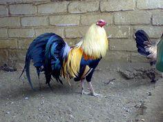 Grey/Hatch Game Fowl