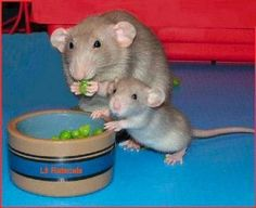 Even rats can be cute!