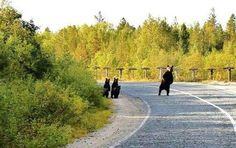 Hitchhiking bears in Finland! Bears are the most prominent nonhuman souls in this lovely space.