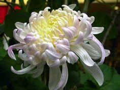 японские хризантемы фото - Поиск в Google