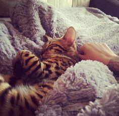 We Heart It 経由の画像 https://weheartit.com/entry/151940652 #animals #aww #cat #cute #luxury #pet #kittykaat