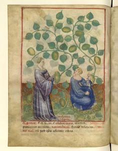 Nouvelle acquisition latine 1673, fol. 37v, Récolte des melons insipides. Tacuinum sanitatis, Milano or Pavie (Italy), 1390-1400.