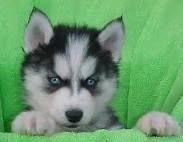 husky dogs - Google Search