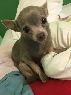 Effective Potty Training Chihuahua Consistency Is Key Ideas. Brilliant Potty Training Chihuahua Consistency Is Key Ideas. Chihuahua Breeds, Cute Chihuahua, Chihuahua Puppies, Baby Puppies, Cute Puppies, Cute Dogs, Dog Breeds, Cute Baby Animals, Funny Animals
