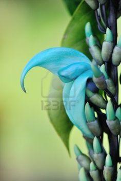 spectacular Hawaii Blue Jade Vine flower and Buds Stock Photo - 12927658