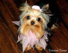 yorkshire terrier haircut…
