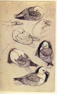 Charles Tunnicliffe. A sketchbook of birds. Observational