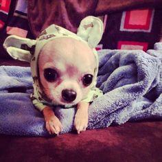 Chihuahuas in Pajamas #chihuahua