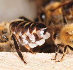 Wax glands of bees produce wax flakes.