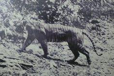 Extinct Animals: Rare Photographs | The Javan Tiger: Live Javan Tiger, taken in 1938 at Ujung Kulon