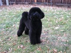 How to do a teddybear clip? - Poodle Forum - Standard Poodle, Toy ... The only clip to have imo.