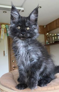 Juniper Berry, black smoke girl (gen. Ticked). Available http://www.mainecoonguide.com/what-is-the-average-maine-coon-lifespan/