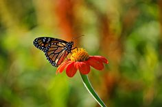 Red+Monarch+Butterfly   Orange and Black Monarch Butterfly on Red Flower - 8x12 Nature ...