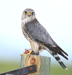 Merlin (Falco columbarius) is a small species of falcon from the Northern Hemisphere. A bird of prey once known colloquially as a pigeon hawk in North America.
