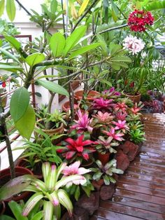 Bromeliads and Plumeria Garden, Florida. Bromeliads do not need to be fertilised. Water when the weather is hot. Likes shade but tolerates sun. #TropicalGarden