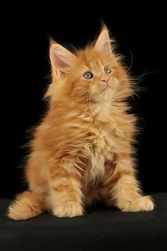 AmbientCat Iguazu, red maine coon kitten http://www.mainecoonguide.com/maine-coon-vs-norwegian-forest-cat/
