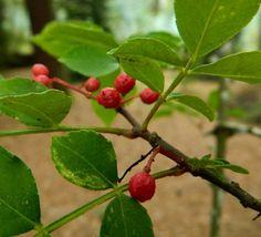 Zanthoxylum simulans Cherry, Fruit, Food, Essen, Meals, Prunus, Yemek, Eten