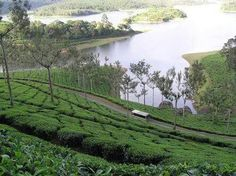 tea plants >munnar Kerala in India