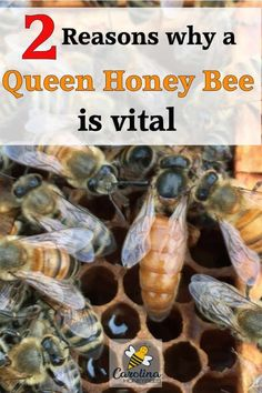 Queen honey bees play an important role in the honey bee colony, Bee Pictures, Beekeeping For Beginners, Raising Bees, Bee Do, Bee Boxes, Backyard Beekeeping, Birds And The Bees, Save The Bees, Keeping Healthy