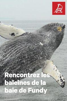 À la rencontre des baleines | Cap sur la baie de Fundy, royaume des plus hautes marées du monde et terrain de jeu de rares et majestueuses baleines.