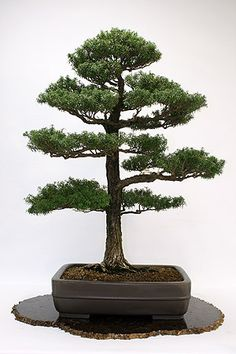 <i>Tsuga diversifolia</i> | Japanese Hemlock <br /> Donor: Princess Chichibu | In Training Since 1926