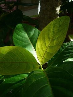 The combination of the leaf colors and the sunlight seems to give this plant an inner light.