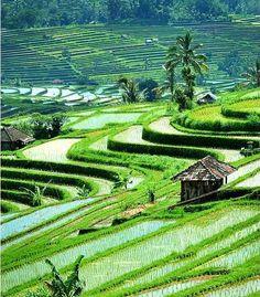 Ubud - rice garden