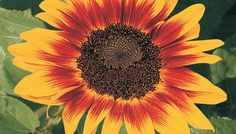 let's learn about flowers: sunflower edition | planning it all
