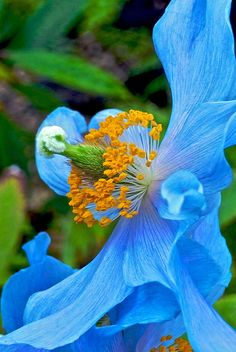 Tibetan blue poppy.Meconopsis grandis, known as the blue poppy, is the national flower of Bhutan. In the late spring of 1922, a British Himalayan expedition, led by legendary mountaineer George Leigh Mallory, discovered the plant on their failed attempt to reach the summit of the then-unconquered Mount Everest.